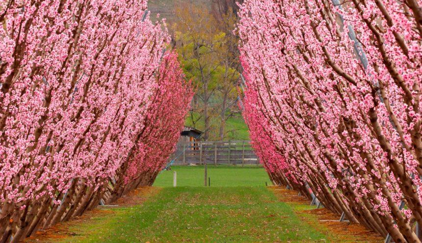 Orchard på en forårsdag, Central Otago