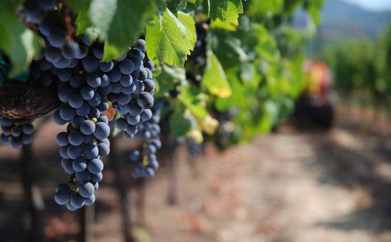 Californiens gode druer