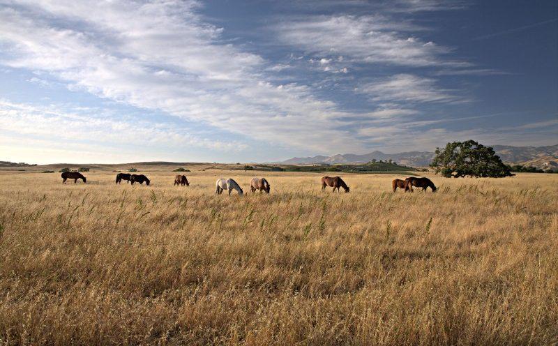 Heste i Santa Ynez